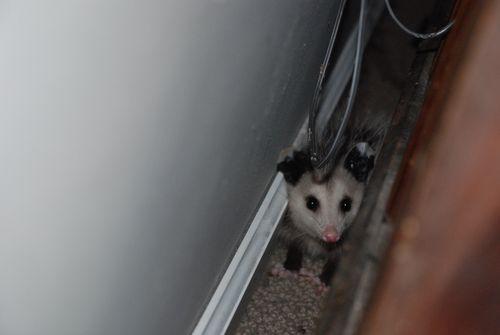 Pogo the Possum